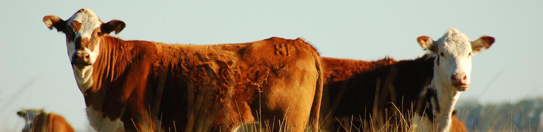 Pecuária - Melaços Brasileiros