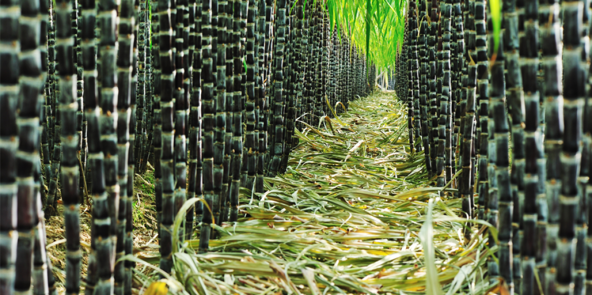 Mecanização na colheita da cana-de-açúcar atinge 84,8% afirma IEA
