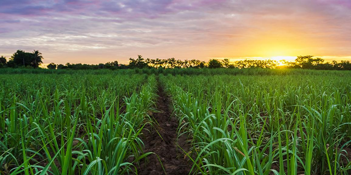 Produção de cana e de açúcar no centro-sul devem cair em 2017/18; etanol terá crescimento, diz Safras