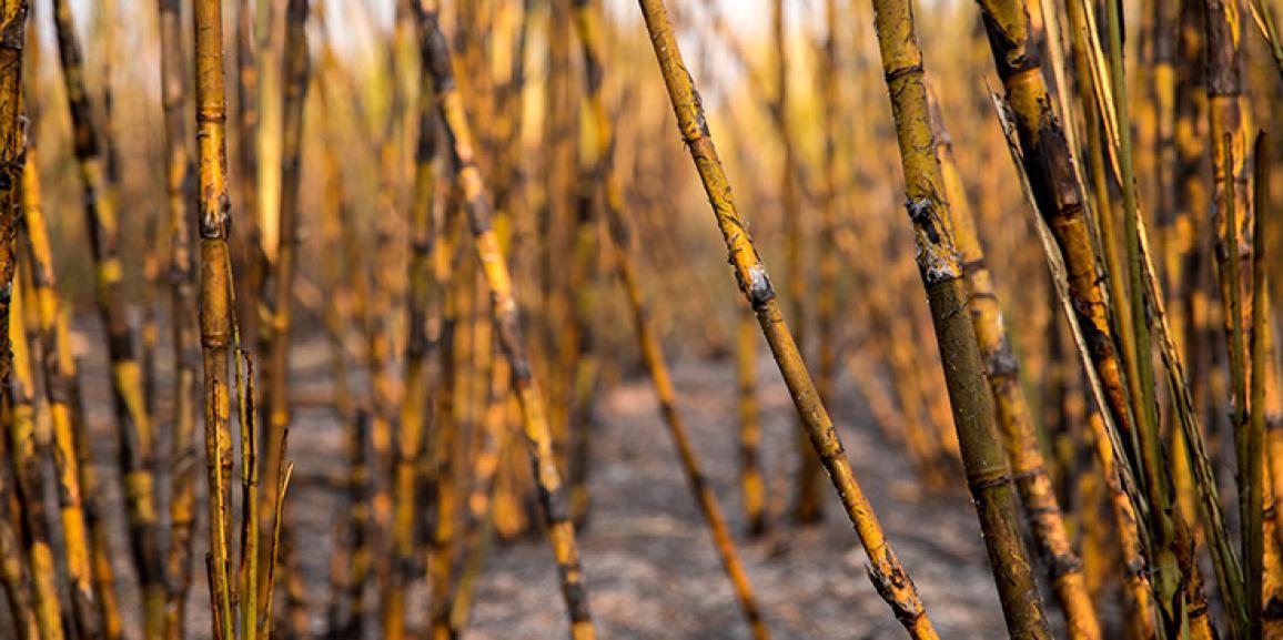 Em município paulista, palha da cana só poderá ser queimada com autorização