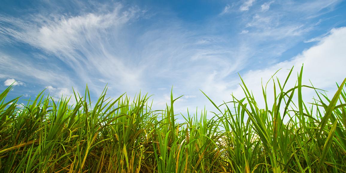 Cana-de-açúcar é o produto agrícola mais produzido na Paraíba