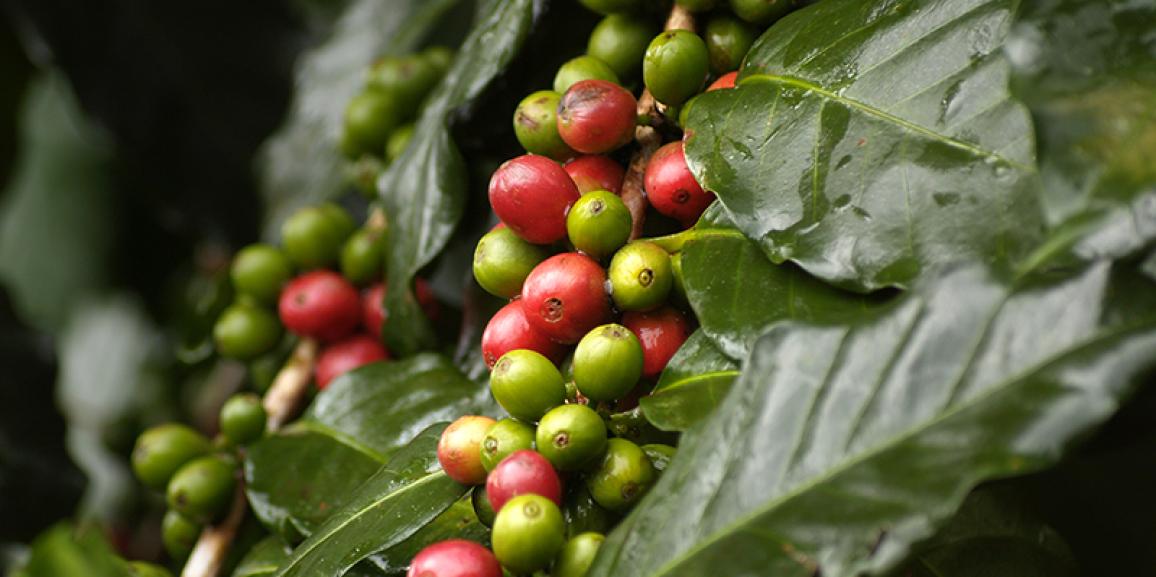 Mosca-das-frutas: praga que ataca a cafeicultura